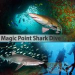 Sydney Marine Life - Magic Point Boat Dive - Grey Nurse Shark